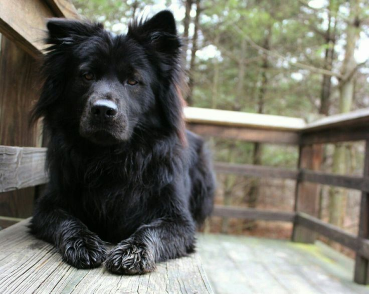 This is Leo a 2yr old chow lab mix