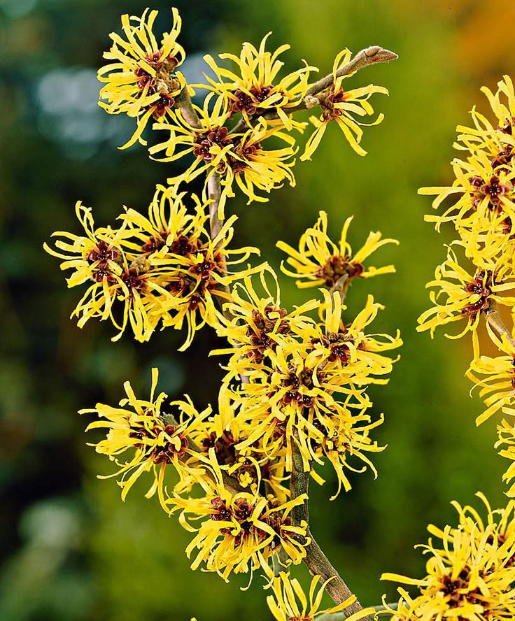 181 best hamamelis images on pinterest for Alberelli ornamentali