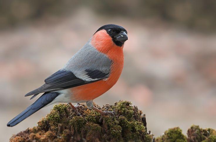 Pássaros que enfeitam nossas vidas: DOM-FAFE                              …