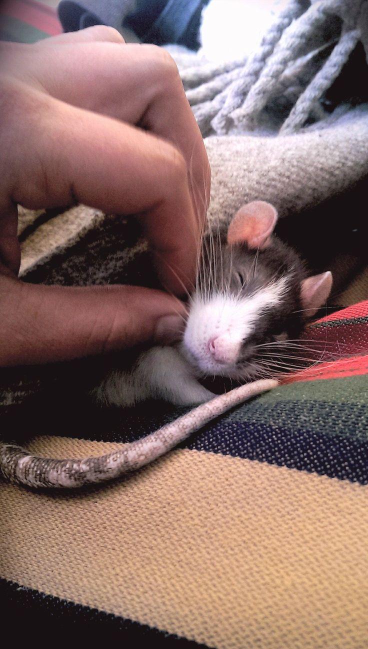 aww cute rat