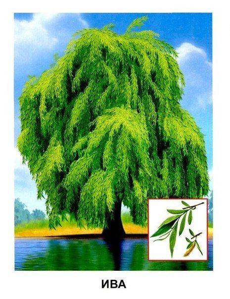 Обучающие карточки - Деревья - АККП