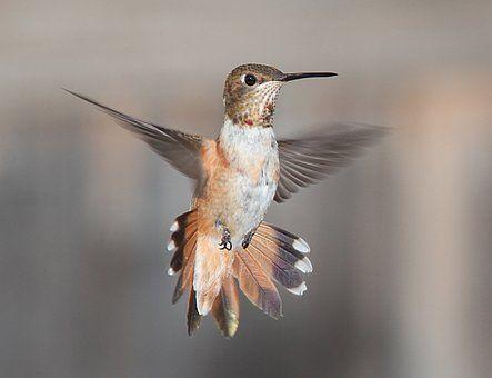 Colibri, Battant, Portrait