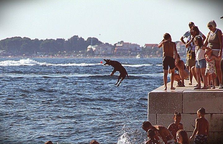 Pies skaczący do wody w Zadarze || http://crolove.pl/pies-skaczacy-wody-w-zadarze/ || #Chorwacja #Croatia #Hrvatska #Dog #Summer #Travel #Zadar #Adriatic #Sea