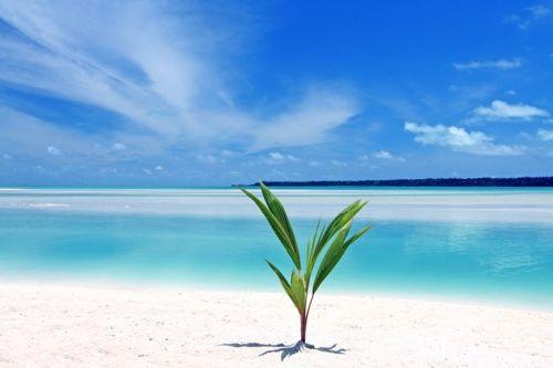 Eins der wirklichen schlönen Bora Bora Bilder ist diese junge Kokusnuss Palme die gleich am Wasser wuchs