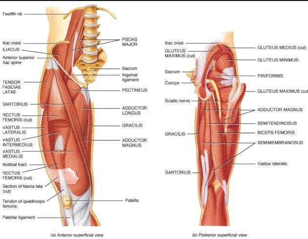 Diagram of upper leg muscles