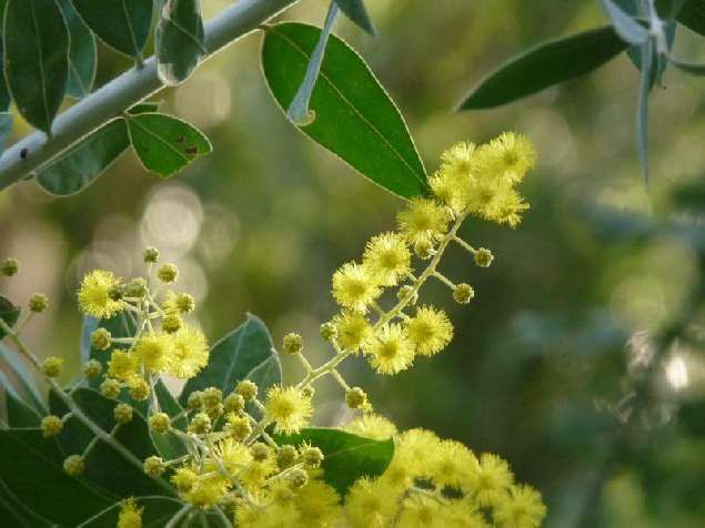 L'odyssée des mimosas - Balade - Randonnée Rayol-Canadel-Sur-Mer Labels Var : Balade Nature Commentée - Découverte | Golfe de Saint-Tropez Tourisme