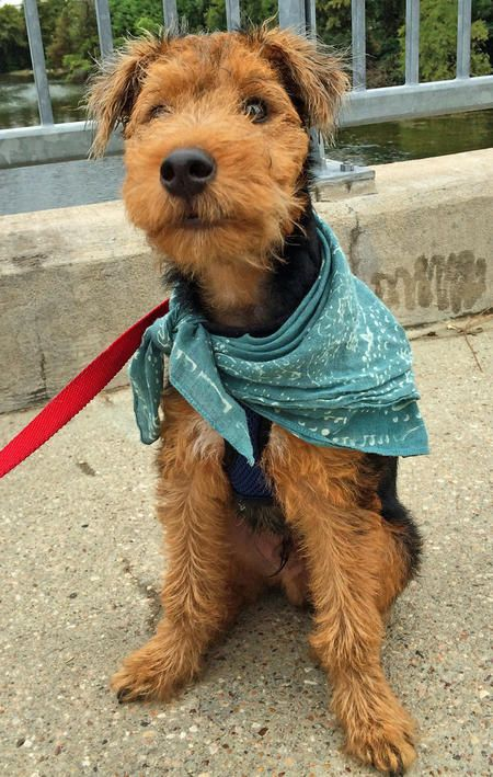 Zoro the Welsh Terrier Pictures 1031735