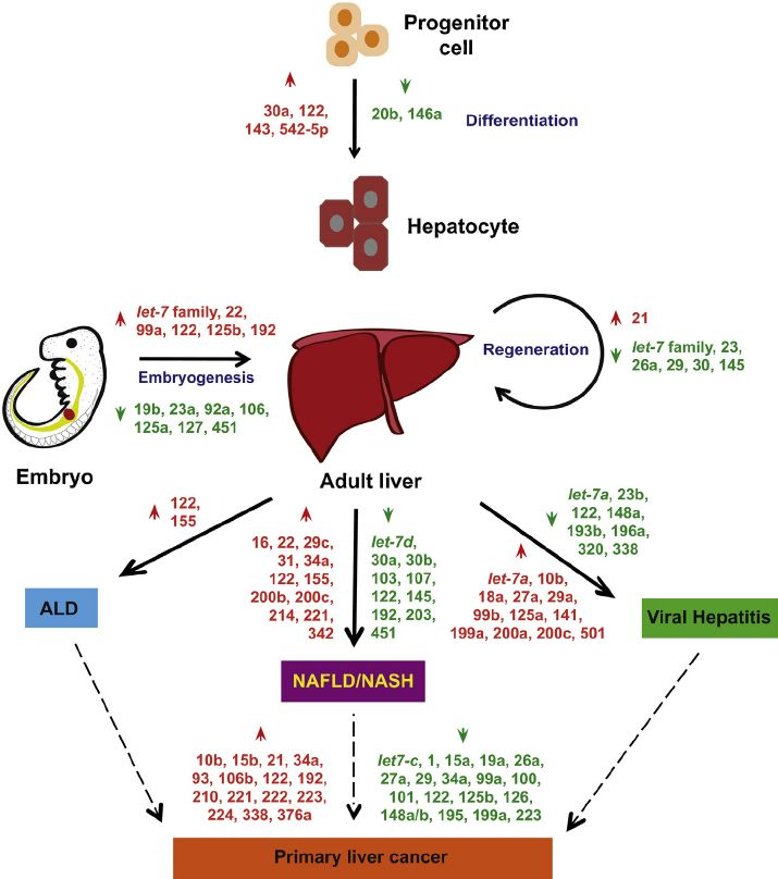 Regulation of microRNAs and their role in liver development, regeneration and disease