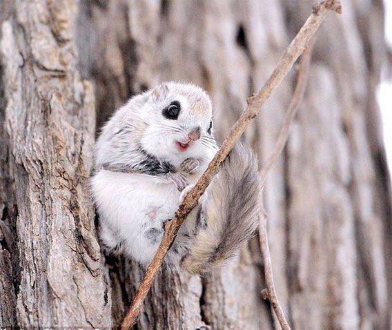 Flying Squirrel - Too high destructive power! Hokkaido Pteromys volans orii of death after another around the world Kyun eyes Tsubura