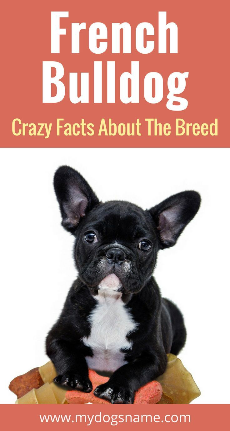 Blue French Bulldog What You Should Know About This Unusual Coat