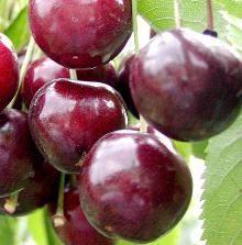 Sød Kirsebær 'Stella' / Prunus x 'Stella' / Frugttræer & Frugtbuske