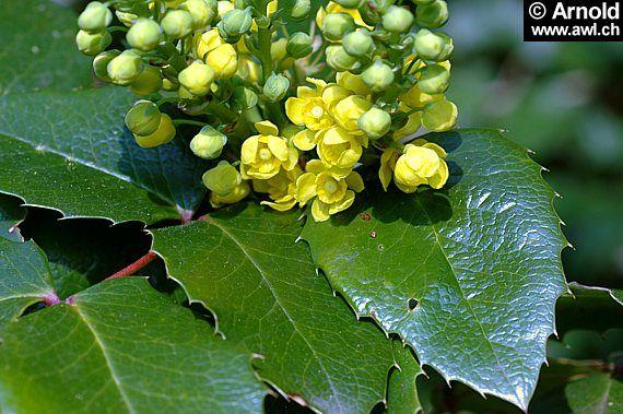 mahonia aquifolium - Google-haku