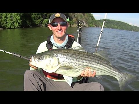 Catching Striped Bass on Watts Bar: Yak Tribe Tournament Day 2 - (More info on: https://1-W-W.COM/fishing/catching-striped-bass-on-watts-bar-yak-tribe-tournament-day-2/)
