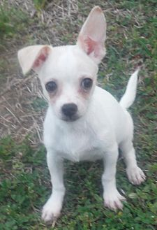 Venice, FL - Chihuahua Mix. Meet Dobby Orlando Chapter, a dog for adoption. http://www.adoptapet.com/pet/19208651-venice-florida-chihuahua-mix