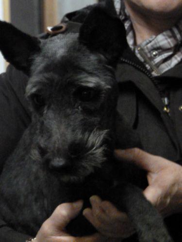 LOULOU Type : Fox Terrier Sexe : Femelle Age : Adulte Couleur : Noir Taille : Petit Lieu : Nord - 59 (Nord-Pas-de-Calais) Refuge : Le refuge de l'espoir (Nord) Tél : 03 20 72 42 72 Loulou née en 2007.Cette charmante petite chienne après avoir eu ses bébés et les avoir nourris a été abandonnée