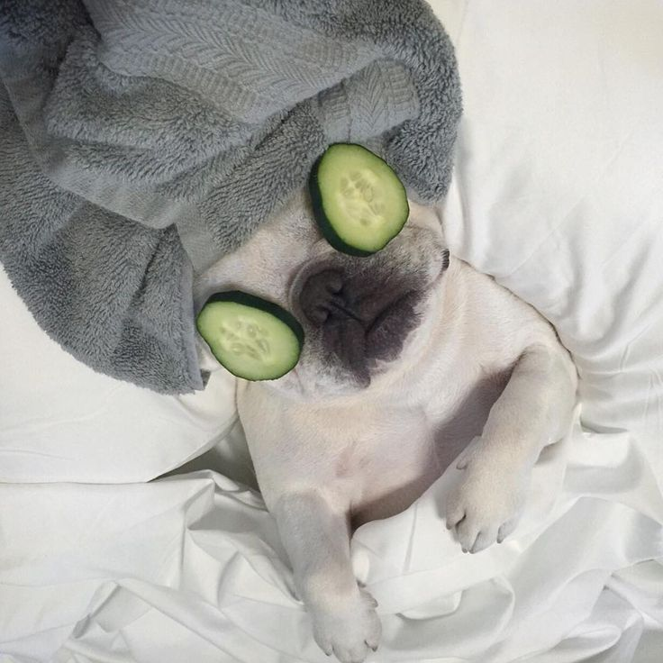 """""""Shhhhh.... this is me time""""..... """"that means go away"""", Spa Day for a French Bulldog"""