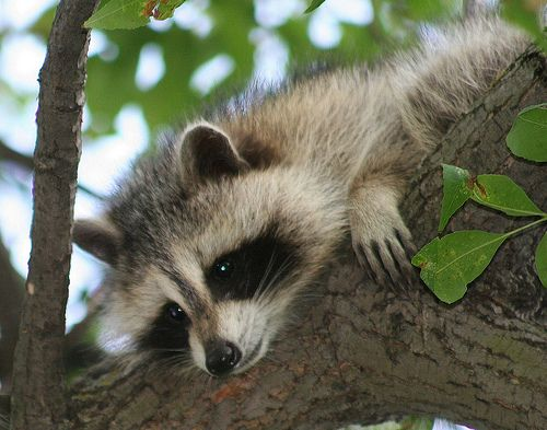 324 Best Images About Zoo Badger Otter Raccoon On