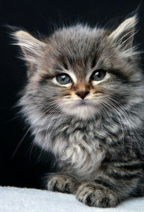 Maine Coone kitten http://www.mainecoonguide.com/where-to-find-maine-coon-kittens-for-sale/