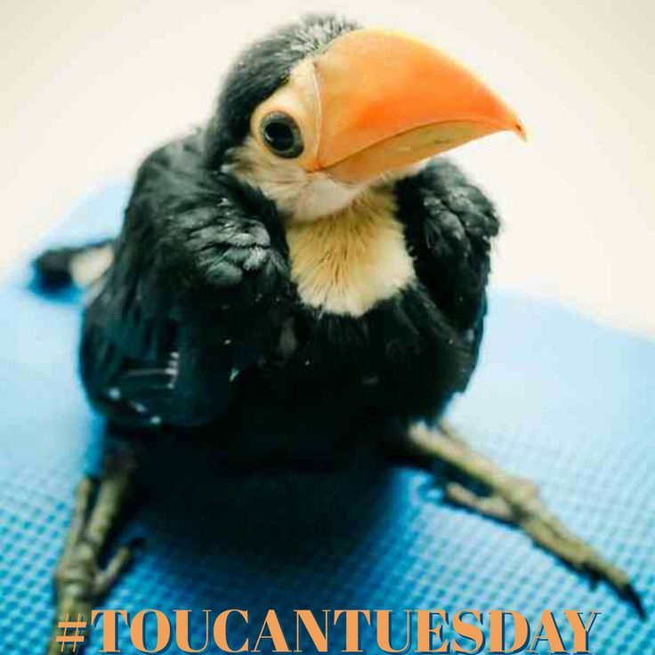 Toucan Tuesday is a wee thing.