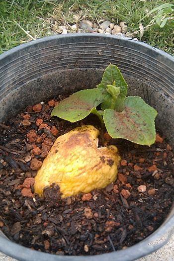 Como plantar chuchu. O Sechium edule, popularmente conhecido como Chuchu, ou machucho, talvez Caiota e até Pimpinela é uma planta trepadeira, cujas ramas podem atingir generosos 15 m de comprimento. Apresenta uma variedad...