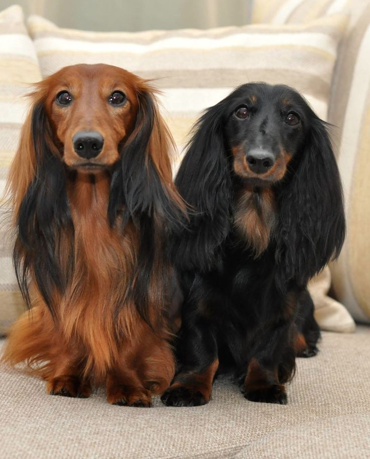 Two Gorgeous Long Haired Dachshunds
