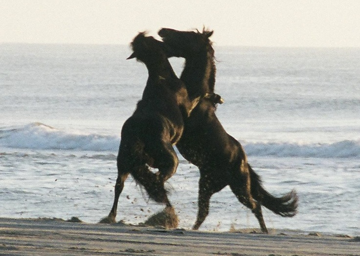 The Wild Ponies of Corolla Island, Off the Outer Banks of North Carolina.