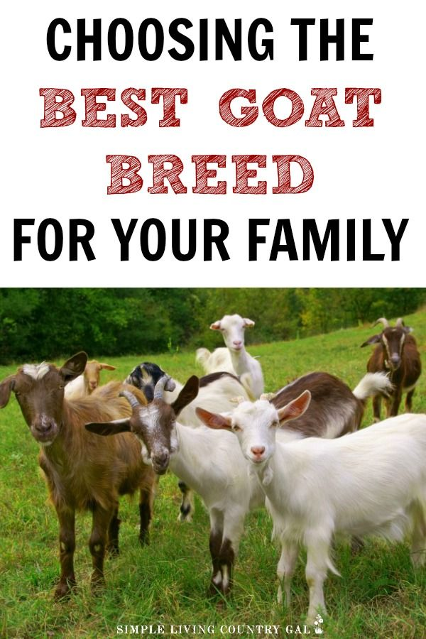 Goat Breeds List Choose The Best Fit For Your Family Goats
