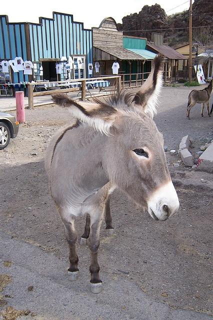 """""""Wild"""" burros in Oatman, AZ. Love seeing these burros in Oatman!!"""