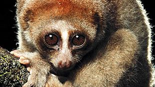 2012's Noteworthy Species | The Scientist Magazine® One of the newly identified species of slow loris, Nycticebus kayan.