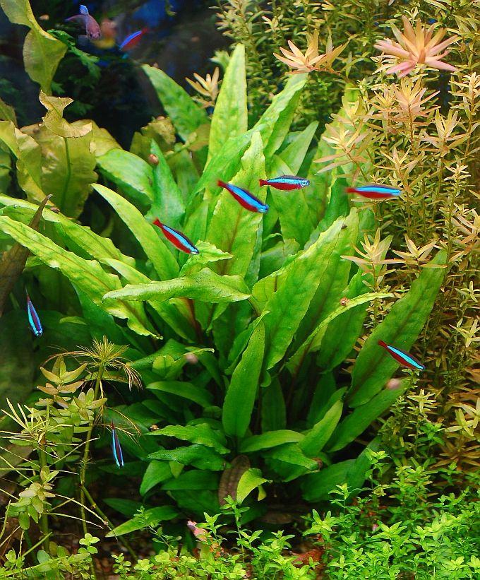 11 best aquarium ideas images on pinterest fish for California fish planting