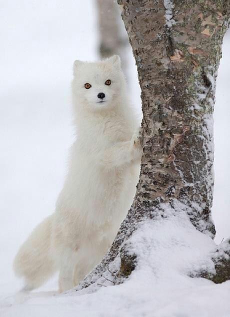 Beautiful Artic Fox