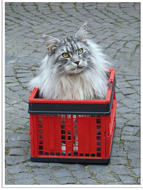 Maine Coon - what a puuurrrrfect gift!
