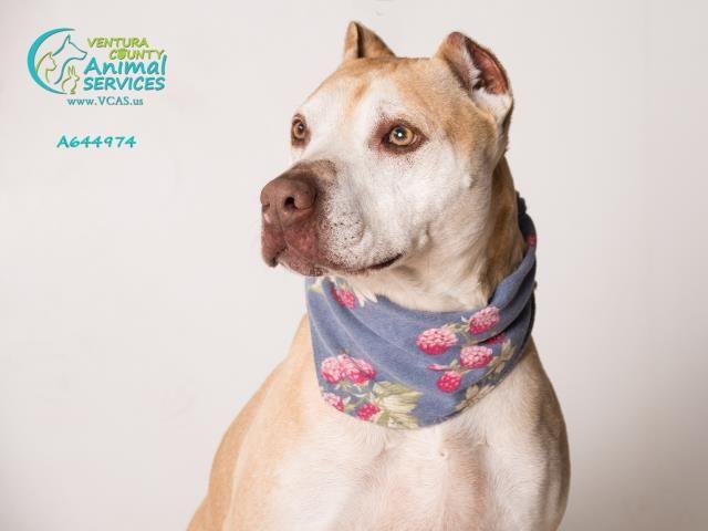 American Staffordshire Terrier dog for Adoption in Camarillo, CA. ADN-502819 on PuppyFinder.com Gender: Female. Age: Adult