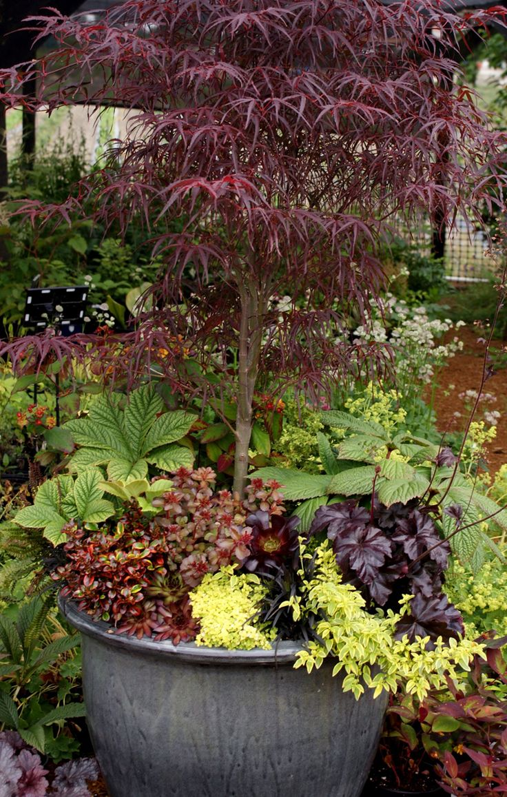 99 best images about japanese maple inspiration on for Maple trees for small gardens