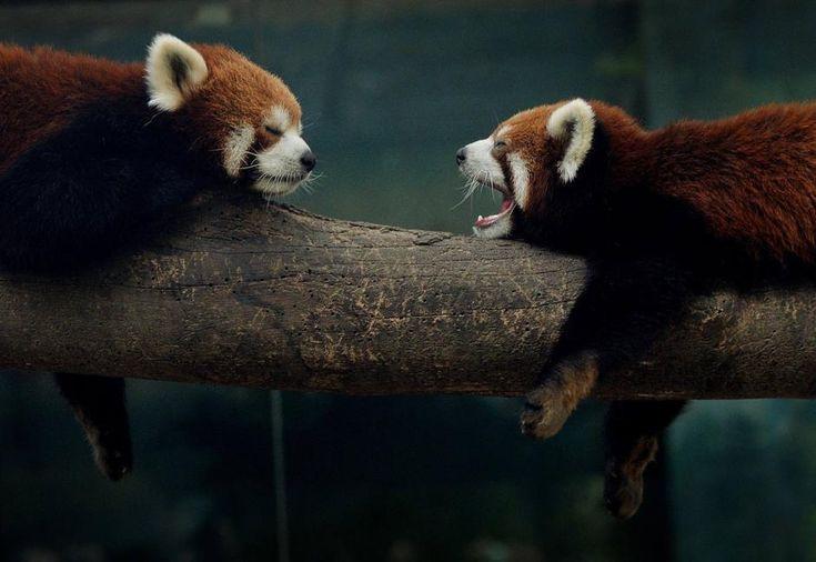 Due panda rossi si riposano. I panda rossi, o panda minori, sono ospiti nello zoo di Pechino (Afp/Ralston))