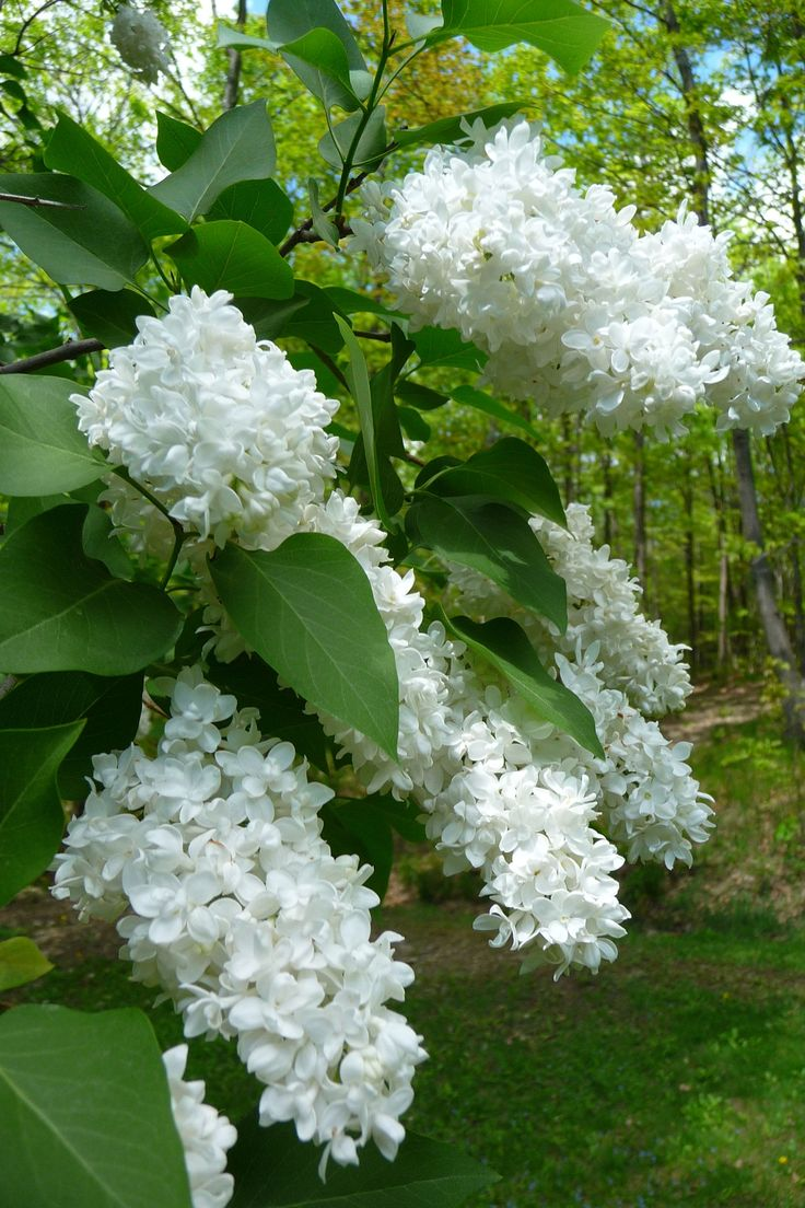 Syringa hyacinthiflora, White Lilac. Where white garden meets backyard.