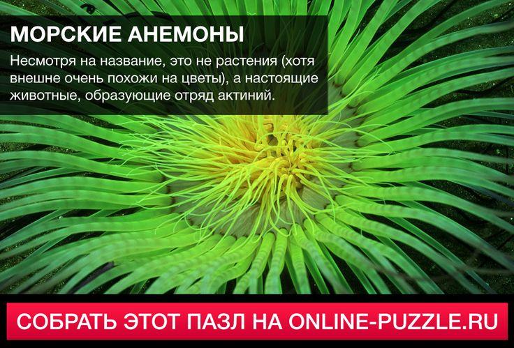 ☝  Несмотря на название, это не растения (хотя внешне очень похожи на цветы), а настоящие животные, образующие отряд актиний.