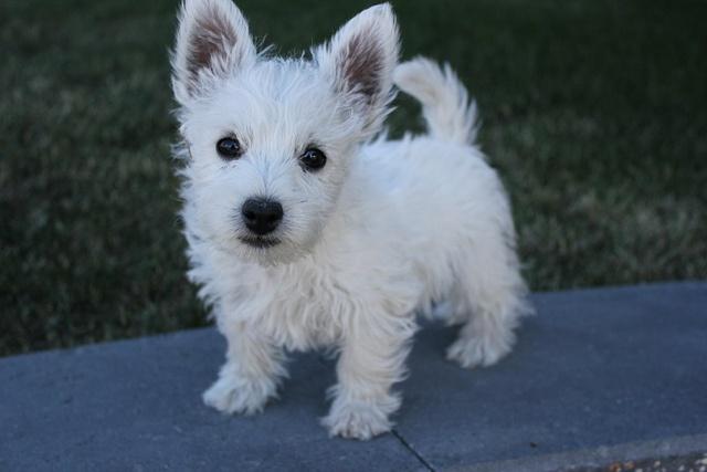 Angus, West Highland Terrier