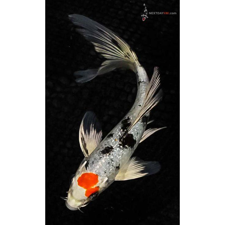 The 25 best koi fish for sale ideas on pinterest koi for Black butterfly koi fish for sale