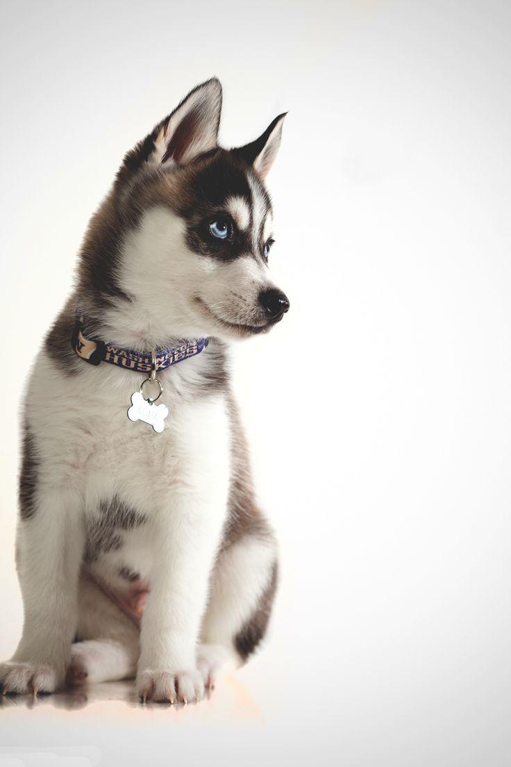 9 best Huskies!!! images on Pinterest | Siberian huskies, Sled dogs ... | Siberian Husky Puppies Bakersfield Ca