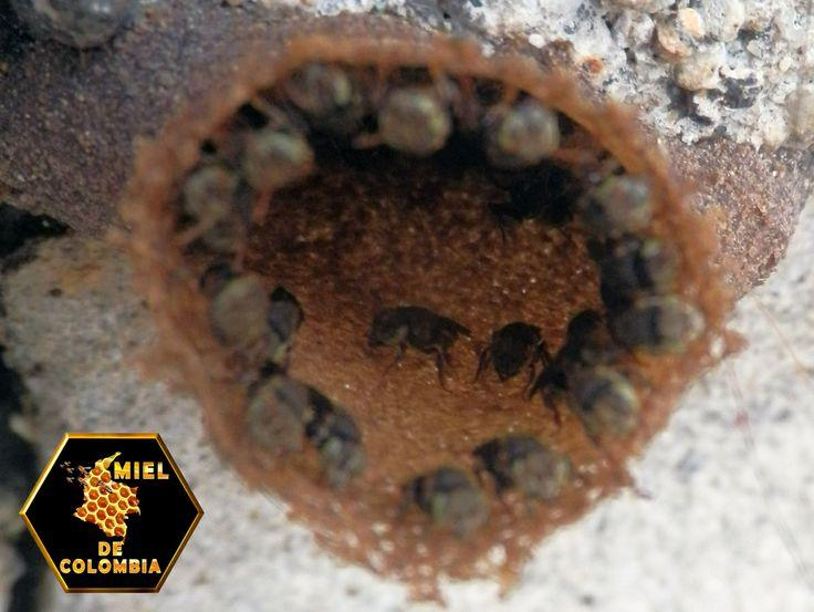 Son abejas sociales, que viven en grandes colonias. No son agresivas, su comportamiento defensivo es pellizcar la piel. Forman colonias grandes. Los nidos se localizan en huecos de árboles. En la entrada del nido convergen las líneas de barro, que solo permite que ingrese una abeja por vez. El nido de cría es horizontal o helicoidal, no hay celdas reales. Tienen un involucro construido con membranas de cerumen. Las ánforas de alimento tienen 4 cm de altura. (Nogueira-Neto, 1970).