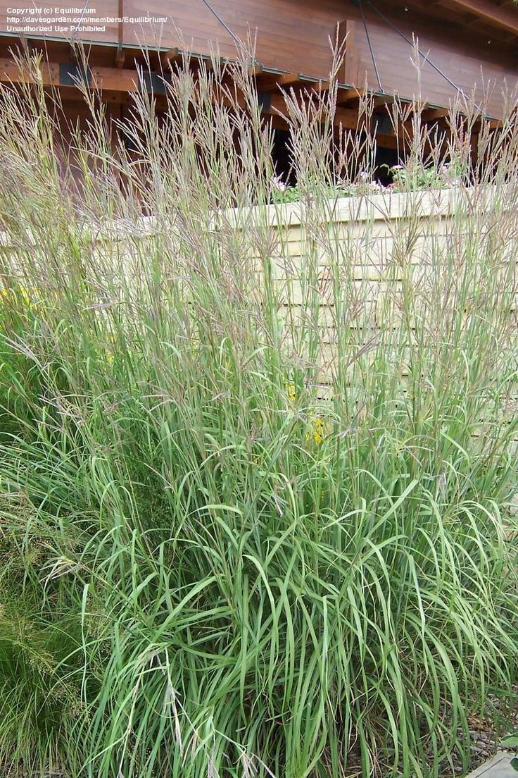 48 best images about ornamental grasses on pinterest for Large ornamental grass plants