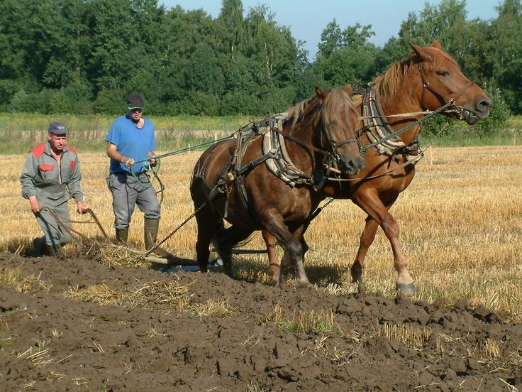 Finnhorse mares Lentosuukko and Vilpotar plowing