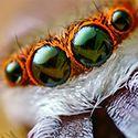 Jumping spider inspires improved vision sensor