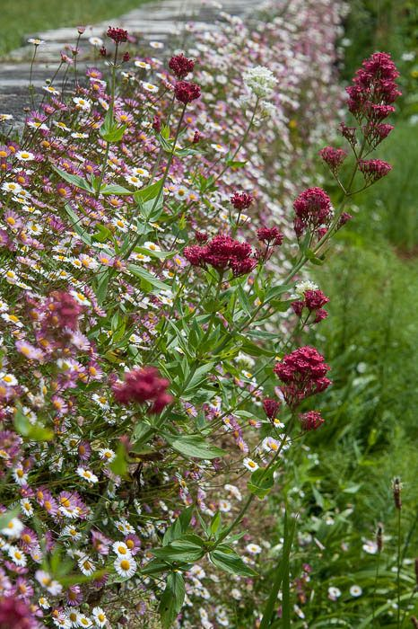 Erigeron karvinskianus with Red Valerian (Centranthus ruber), at Great Dixter
