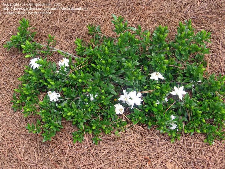 Gardenia Radicans Creeping Gardenia 6 12 Quot High By 2 3