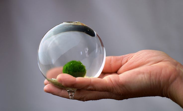 Did you know moss balls are supposed to attract luck and love?