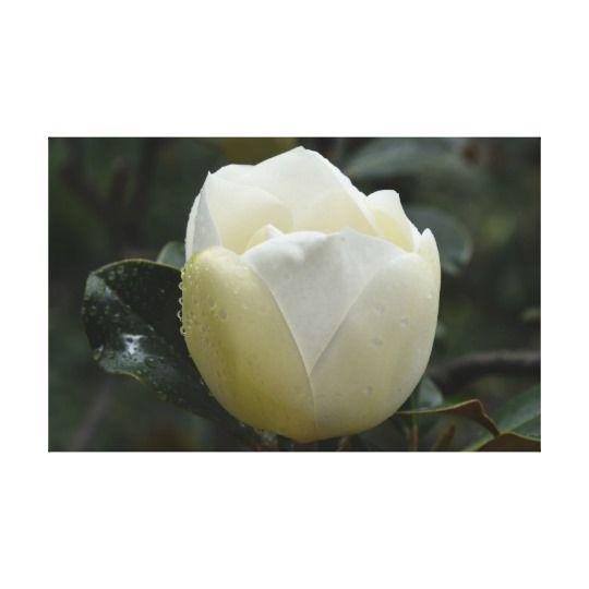 Magnolia Grandiflora Canvas Print by www.zazzle.com/htgraphicdesigner* #zazzle #gift #giftidea #magnolia #grandiflora #white #flower #nature #print #canvas #photograph #photo #photography