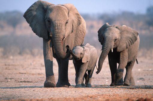 African Elephant Family Group (Loxodonta africana) at Etosha National Park, Namibia - photo by Martin Harvey / Getty Images