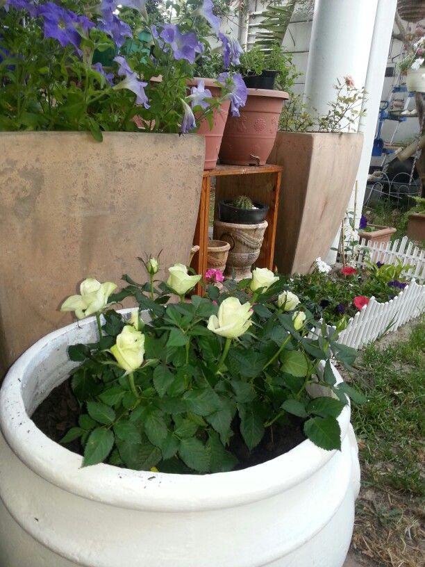 Cream rose shrub in a white pot